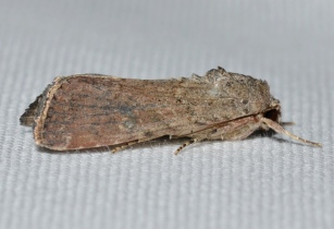 9666 Spodoptera frugiperda Fall Armyworm Moth female 21033553343