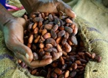 Moody's: Côte d'Ivoire and Ghana are remaining resilient to credit pressures from cocoa price fall