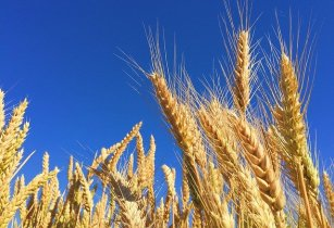 Global harvest outlook for grain is good