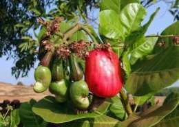 Cooperatives crucial for driving innovation in cashew farming communities