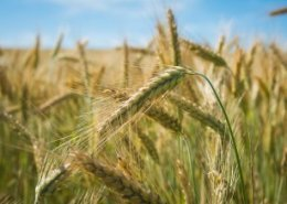 Heat tolerant durum wheat discovery to aid farmers in West Africa