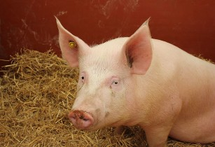 Vaccine for African swine fever may save the bacon