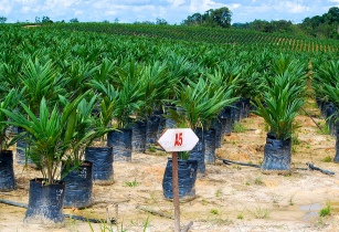 Ghana aims to increase palm oil production