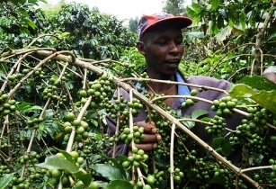 Kenya coffee farmers  joekanyi