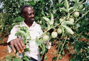 Kenya develops drought-tolerant passion fruits
