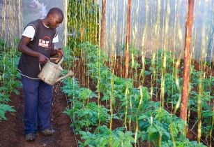 Kenya scientists release five new bean varieties
