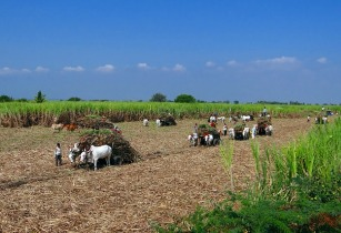 Mauritius aims for profitable sugarcane industry
