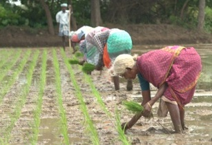SRI System of Rice Intensification workers planting rice Tamal Nadu India