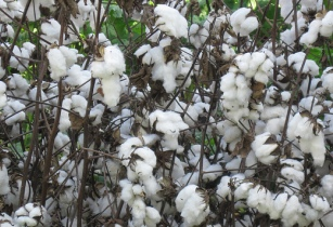 West African Cotton Co to invest US25mn in Ogun