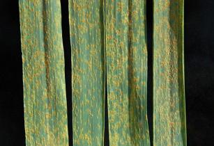 Wheat leaf rust on wheat