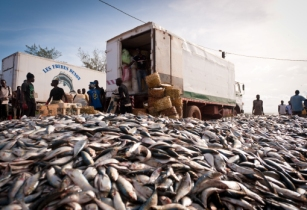 Fishmeal industry poses risk to food and livelihoods in West Africa