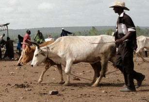 Vaccination programme for livestock owners in Sudan