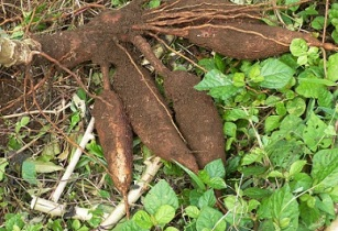 Agri-tech innovations breaking barriers for African cassava farmers