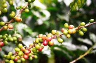 DRCongo, coffee, crd, africa, robusta, exports, selling, price