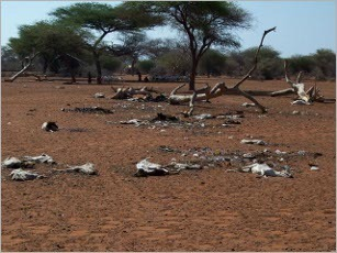 Cattle in Senegal suffering from drought