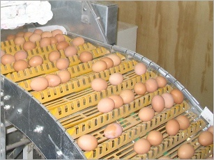 New, egg, collection, system, introduced, floor, Multiflex, africa