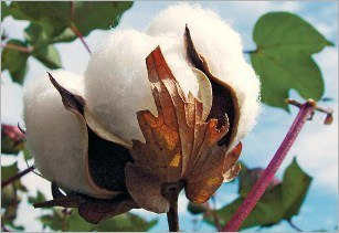 Kenya, pushes ahead, GM, cotton plans, Kenya development authority, aphids, africa, GMO