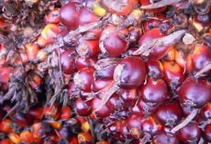 Palm_Oil_manoj_k_mohan