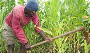 New, drive, save, African, crops, parasitic, weeds, pests, africa, IITA
