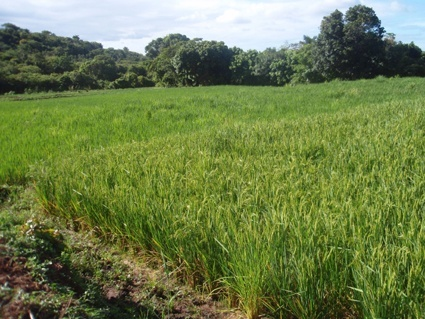Kenyan, rice farmers, new technology, that is, set to, double production