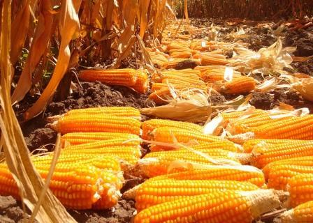 A recent report has outlined how Zambia is using its robust maize stocks to fill a regional gap