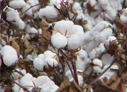 Kenya Agricultural Research Institute (KARI) has developed two cotton seed varieties to boost production of the crop