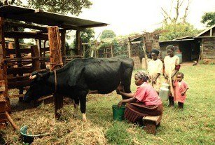 dairy, Africa, African, Farming, small-scale, poverty, milk, cows, dairy