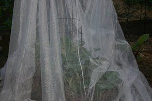 Research, Kenya Agricultural Research Institute, (Kari), mosquito, net, cabbage, plants, aphids, caterpillars