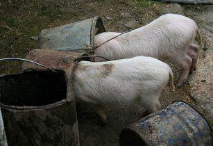 Feeding pigs Yftach Herzog Wikimedia Commons