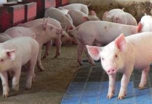 Piggery USAID Southern Africa Flickr