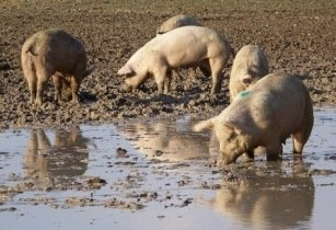 Pigs pork  Namibia South Africa