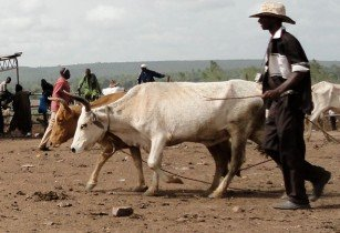 musa cattle